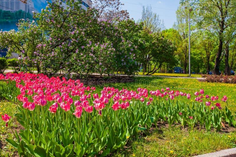 Красные тюльпаны на лужайке в парке города стоковое изображение