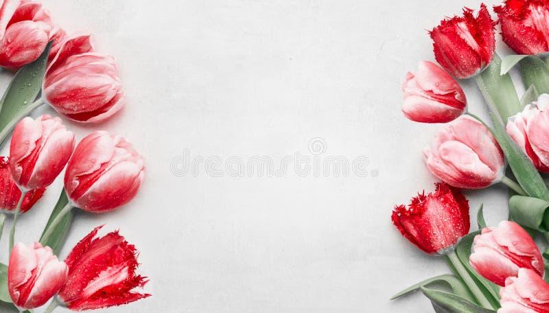 Красные тюльпаны на светлом - серая предпосылка, взгляд сверху Рамка Праздничные цветки весны Флористический составлять Праздник  стоковые фото