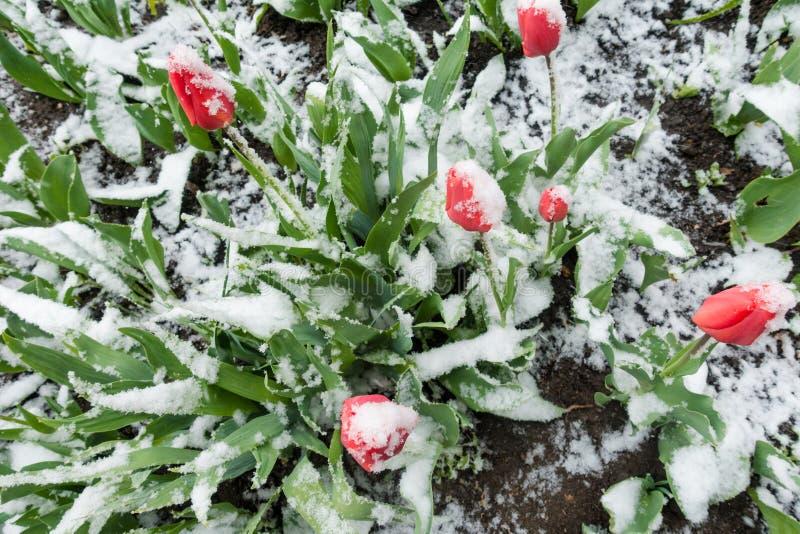 Красные тюльпаны под весной идут снег, над взглядом стоковое фото