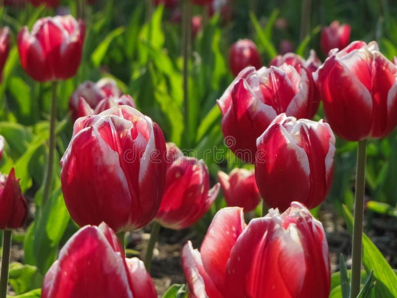 Красные тюльпаны с белыми краями стоковые изображения rf
