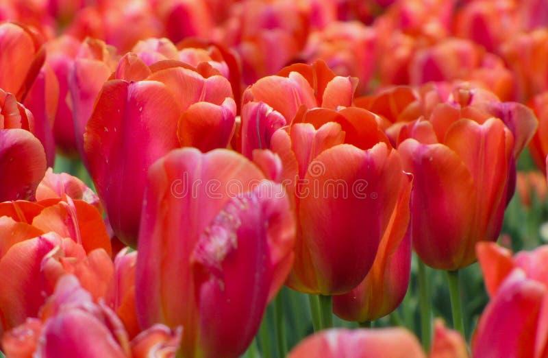 Красные тюльпаны с пинком, пурпуром, и апельсином стоковая фотография rf