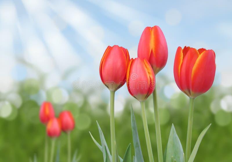 Красные тюльпаны апельсина и желтого цвета с абстрактной солнечной предпосылкой bokeh стоковое фото rf