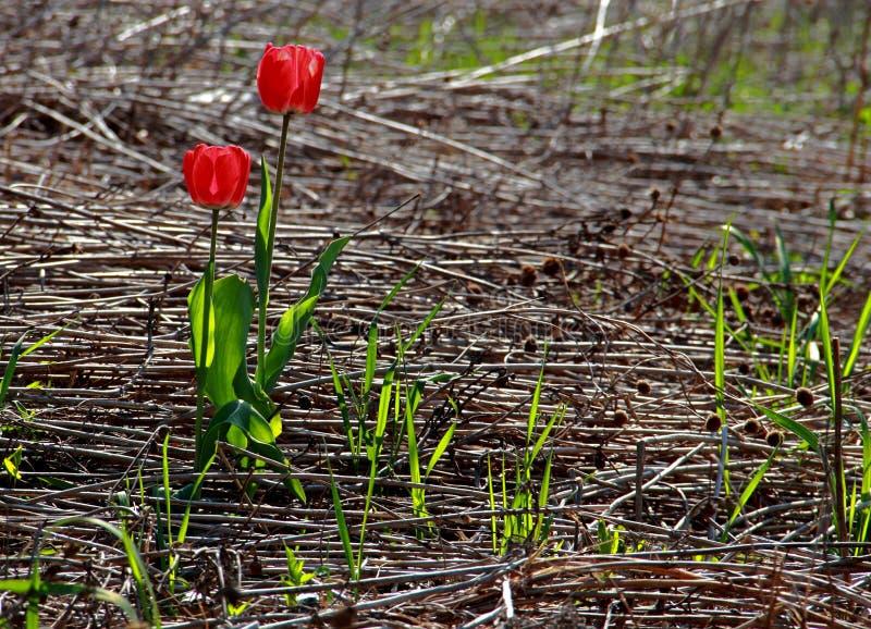 Красные тюльпаны в дикости стоковая фотография