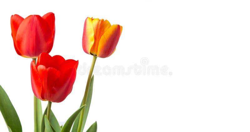 Красные тюльпаны изолированные на белой предпосылке стоковое изображение