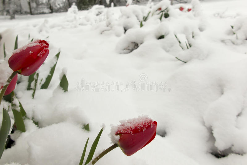 Красные тюльпаны покрытые с снегом весны стоковое изображение