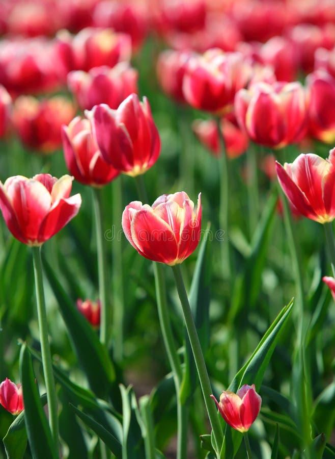 Красные тюльпаны с белой границей - малой глубиной поля стоковая фотография