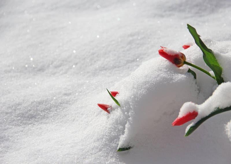 Красные тюльпаны Peeking через снег зимы на весне d стоковое фото rf