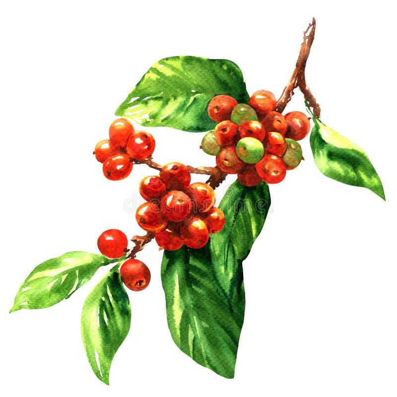 Красные фасоли arabica кофе на изолированной ветви, иллюстрации акварели иллюстрация вектора