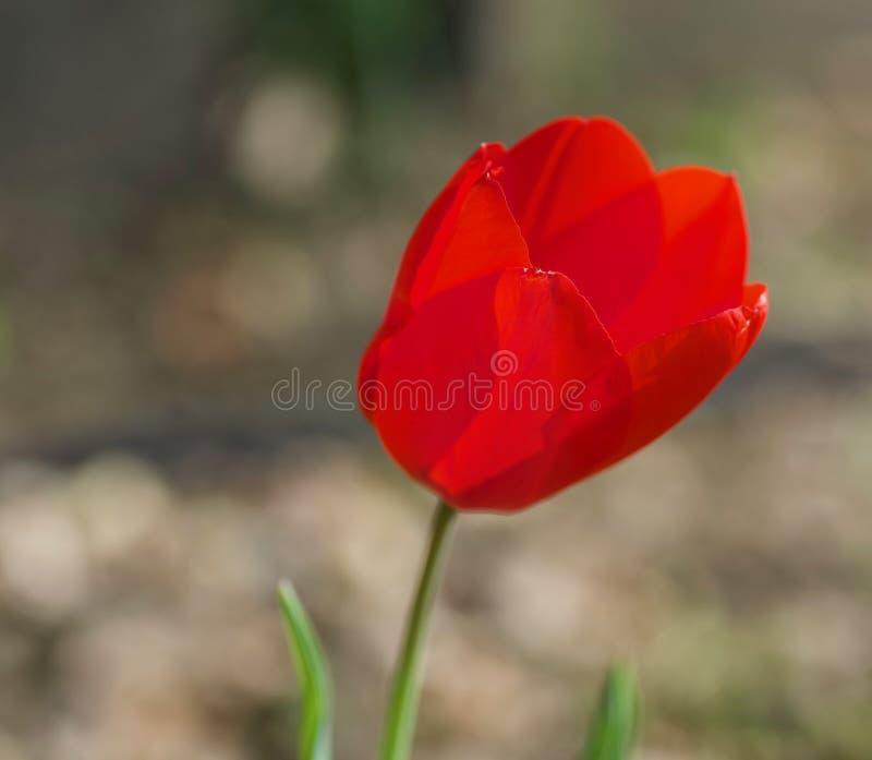 Красные цветеня цветка тюльпана в Киото Японии стоковое изображение