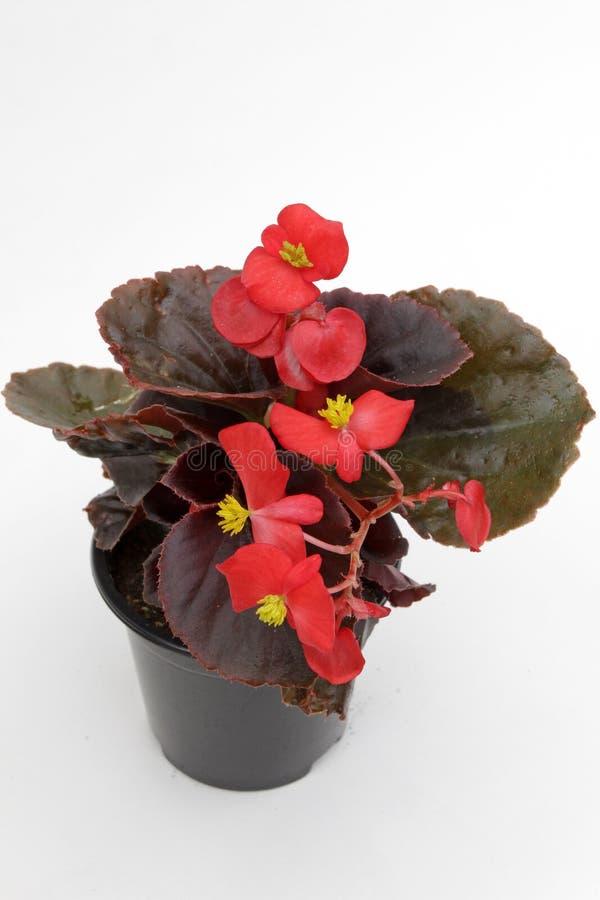 Красные цветки бегонии с желтыми лепестками и листьями зеленого цвета в баке изолированном на белой предпосылке Цветочный узор, п стоковые изображения rf