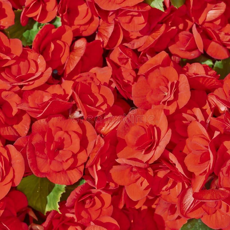 Download Красные цветки бегонии стоковое изображение. изображение насчитывающей бегонию - 33729583
