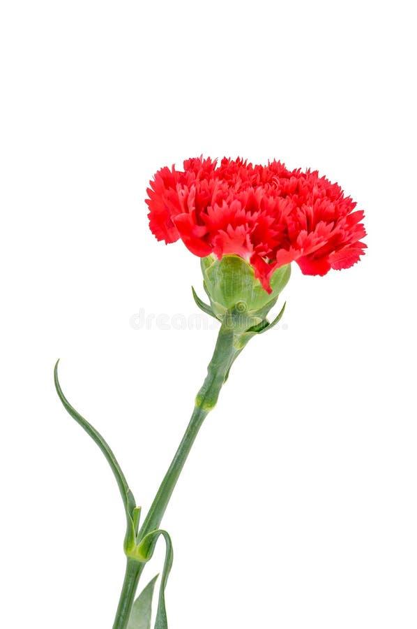 Красные цветки гвоздики на белой предпосылке стоковые изображения