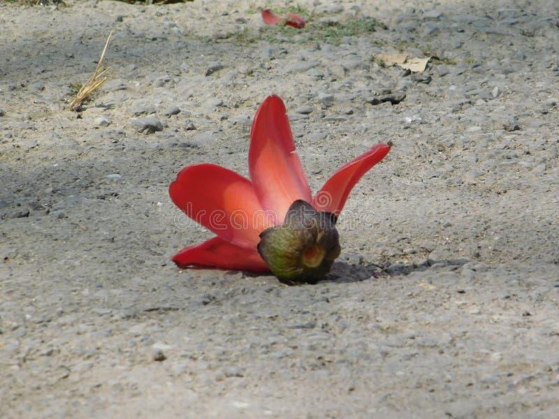 Красные цветки дерева хлопка стоковое фото rf