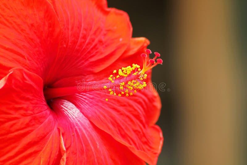 Красные цветки желтого цвета цветка гибискуса стоковые изображения