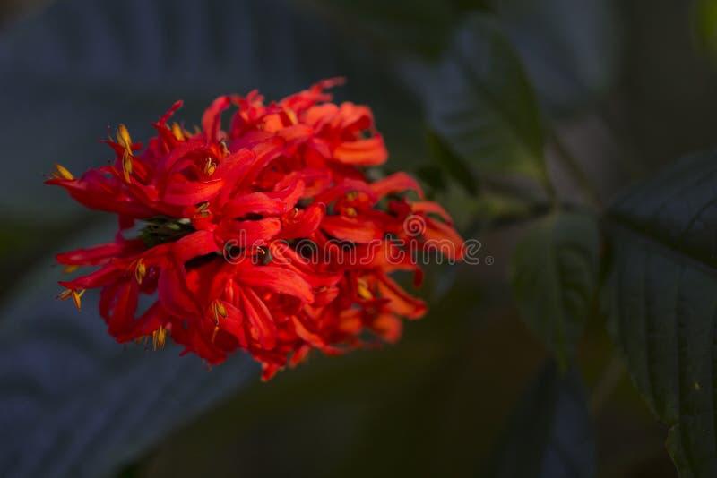 Красные цветки и листья зеленого цвета в солнце захода солнца Экзотический цветок в тропическом саде стоковое изображение rf