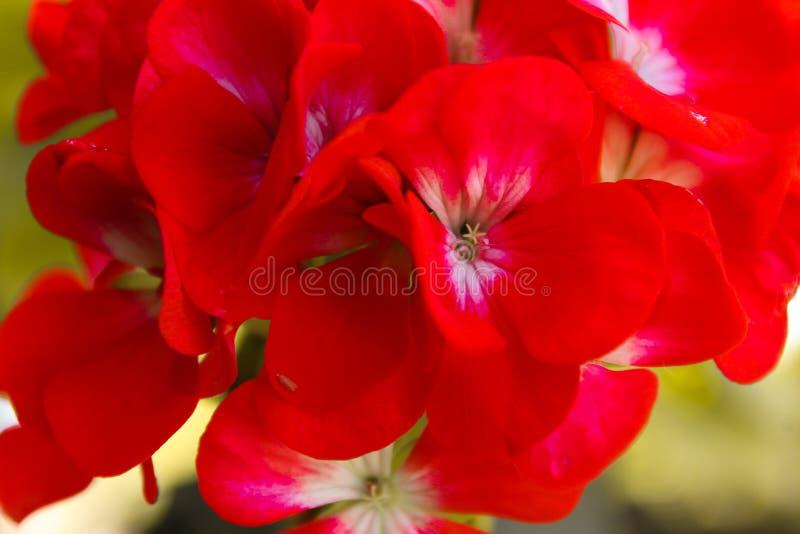 Красные цветки стоковая фотография