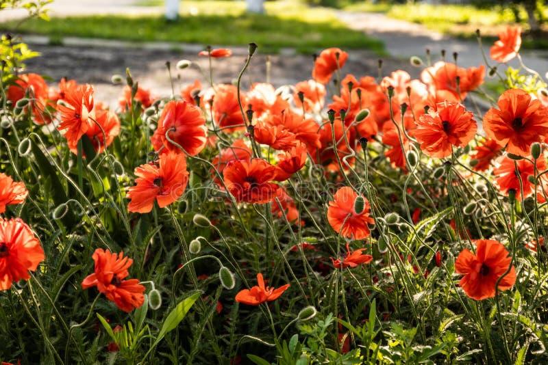Красные цветки мака в саде весной в сезоне в июле стоковые фото