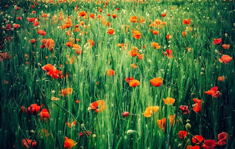 Красные цветки мака на день памяти погибших в первую и вторую мировые войны стоковое фото rf