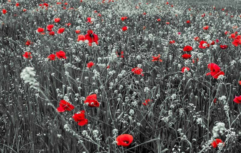 Красные цветки мака на день памяти погибших в первую и вторую мировые войны стоковая фотография rf