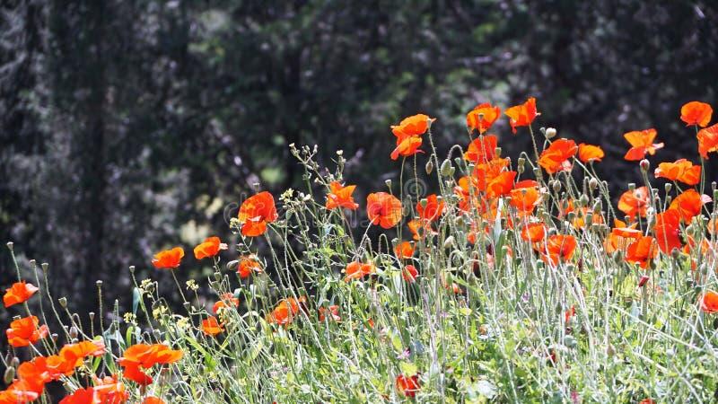 Красные цветки маков на поле в Кипре в апреле стоковое изображение rf