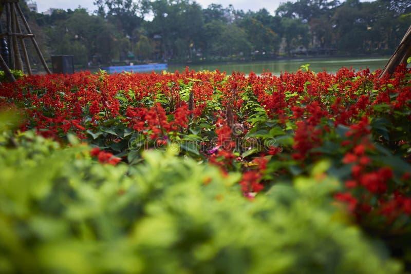 Красные цветки на озере Hoan Kiem стоковое изображение rf
