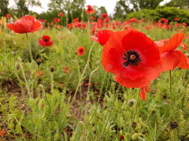 Красные цветки опиумного мака стоковое фото