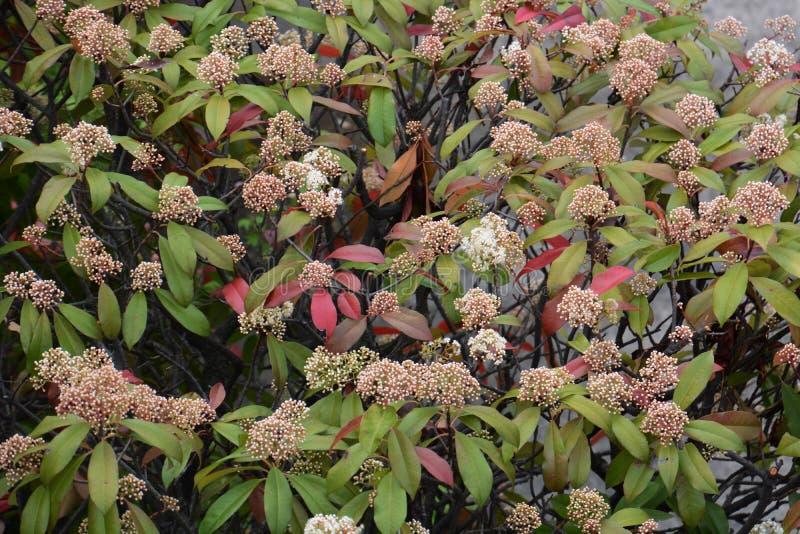 Красные цветки робина стоковая фотография
