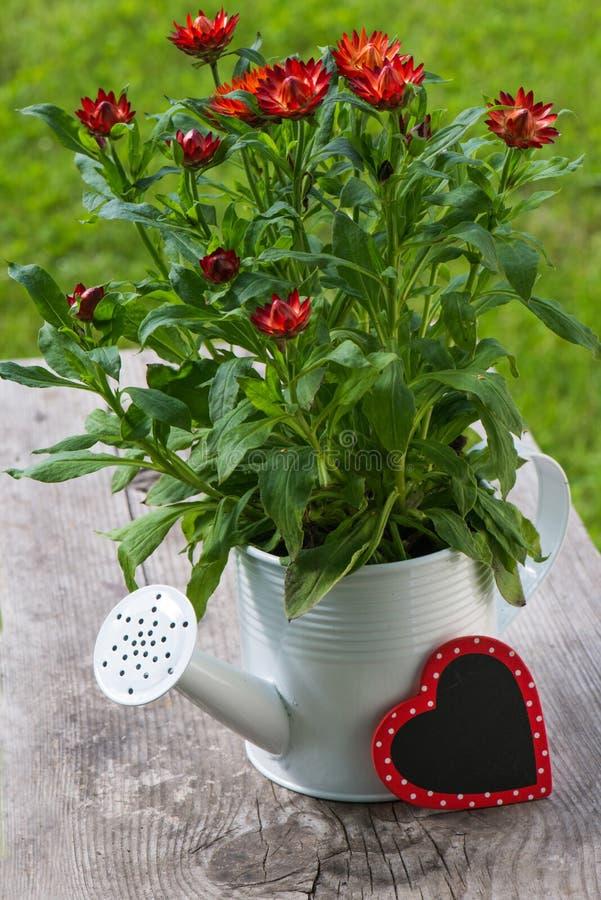 Красные цветки соломы стоковая фотография