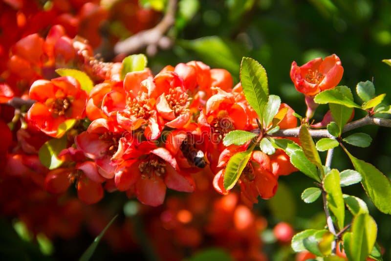 Красные цветки Chaenomeles японской айвы на кусте стоковое изображение