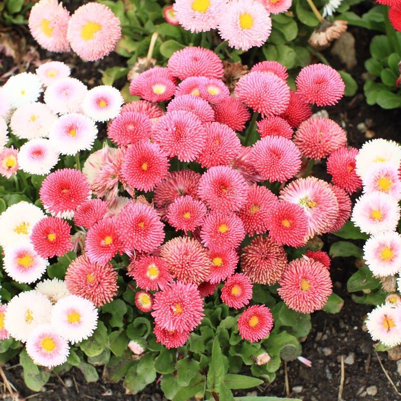 Красные цветки - immortelle стоковая фотография