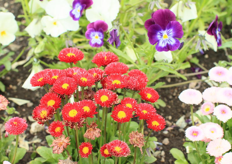 Красные цветки - immortelle стоковые фото