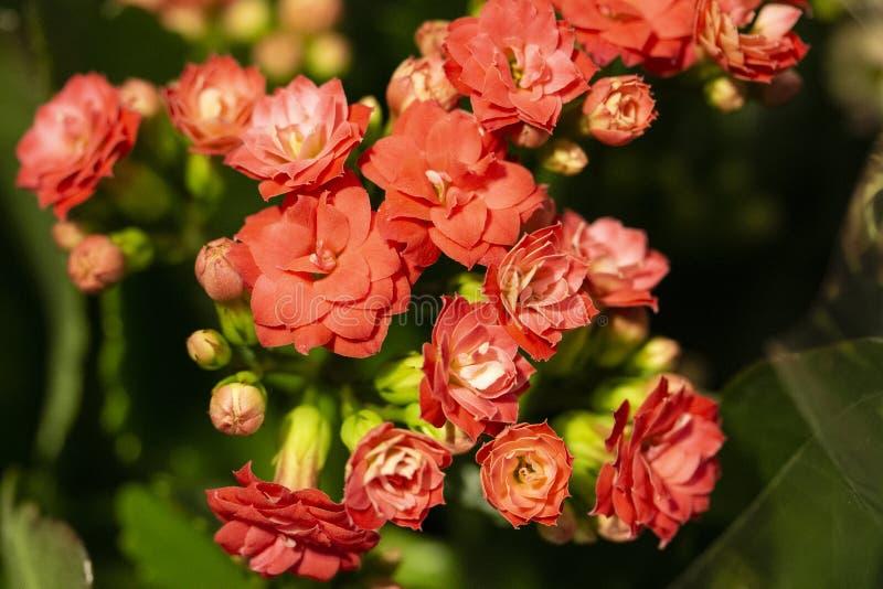 Красные цветки Kalanchoe закрывают вверх стоковое изображение