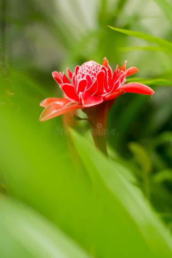 Красные цветок Dala или имбирь факела в зеленом саде стоковые изображения