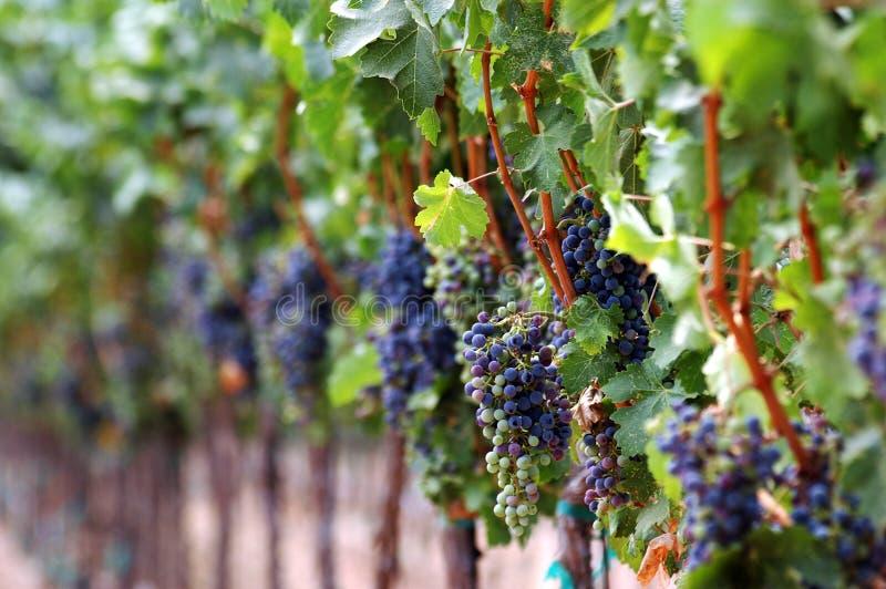 красные цветы зрея виноградник стоковая фотография