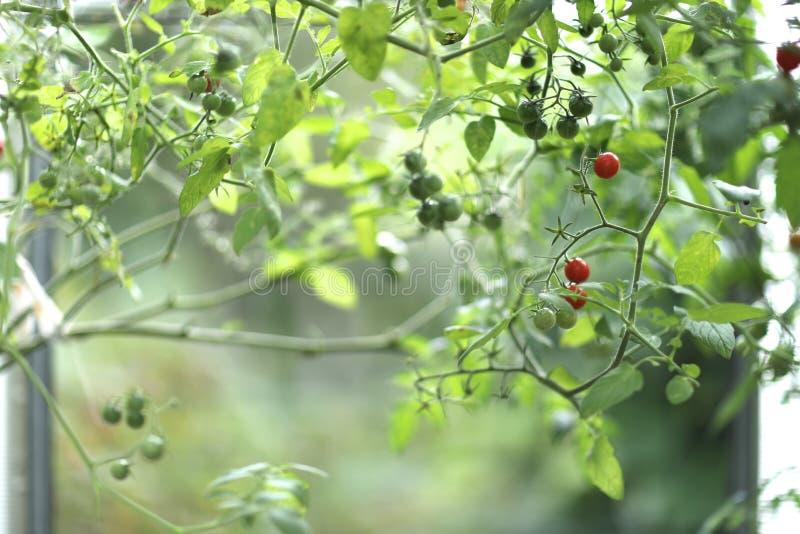 Красные шарики плодов томатов вишни стоковые фотографии rf
