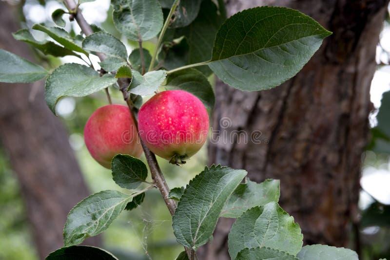 Красные яблоки на яблоне вися на ветви среди зеленых листьев стоковые изображения rf