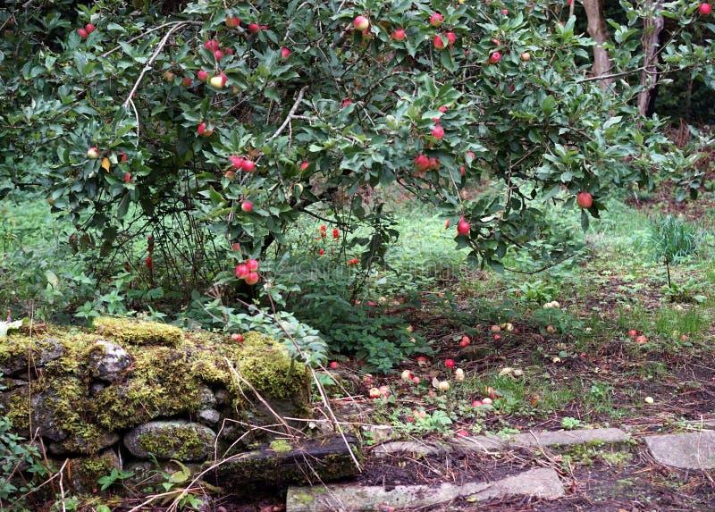 Красные яблоки сада щедрость природы стоковые изображения rf