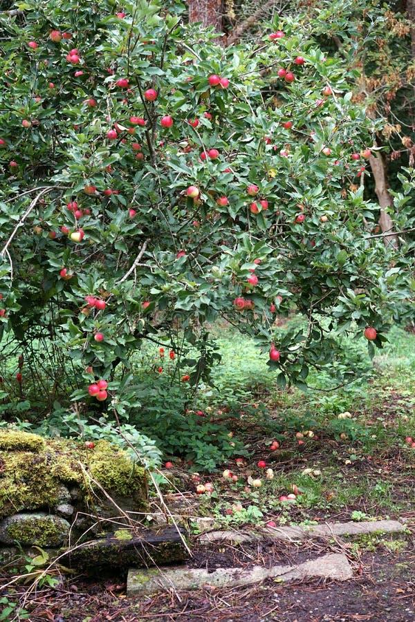 Красные яблоки щедрость природы - вертикаль стоковая фотография rf