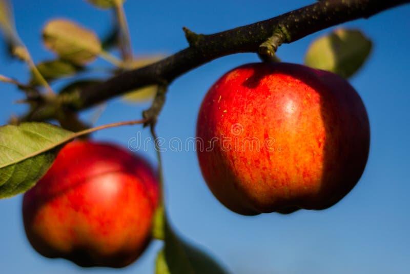 Красные яблоки на ветви стоковое фото rf