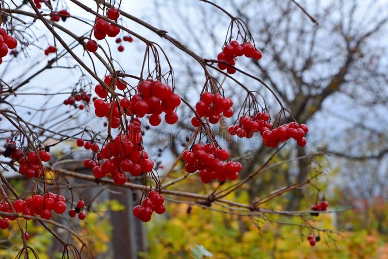 Красные ягоды калины в осени садовничают в дне overcast стоковая фотография