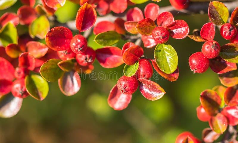 Красные ягоды осени красного Firethorn Предпосылка осени красивая стоковое фото rf