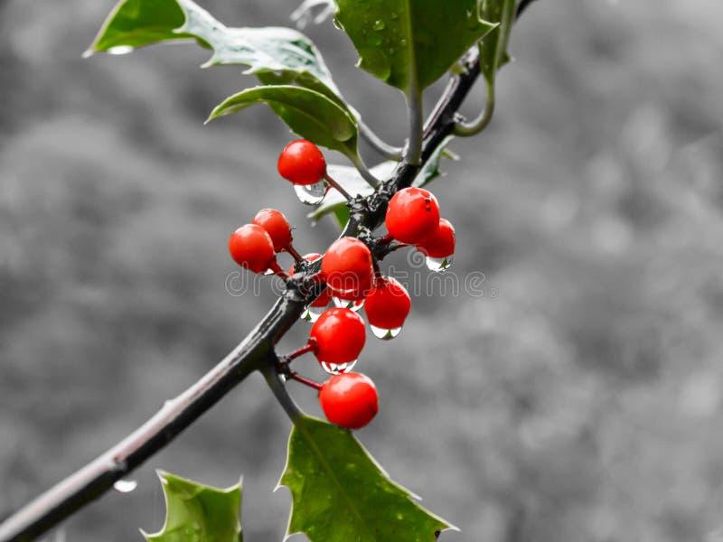 Красные ягоды падуба и зеленые листья на черно-белом стоковые изображения