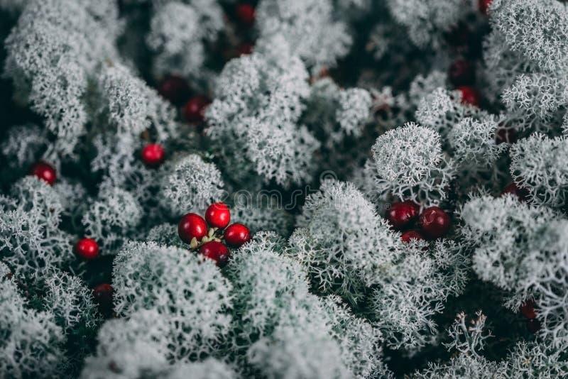 Красные ягоды cowberry, клюква, foxberry, lingonberry, whortleberry на белой предпосылке sphagnum мха Красивая белизна стоковые фото