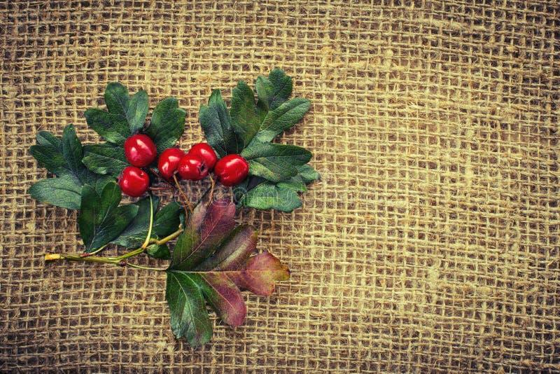 Красные ягоды боярышника стоковые изображения