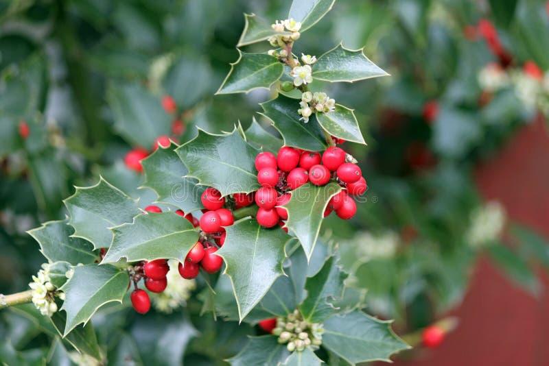 Красные ягоды падуба и листья зеленого цвета стоковое изображение