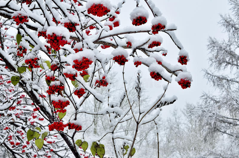 Красные ягоды рябины и нескольких последних листьев зеленого цвета идут снег покрытый стоковая фотография rf