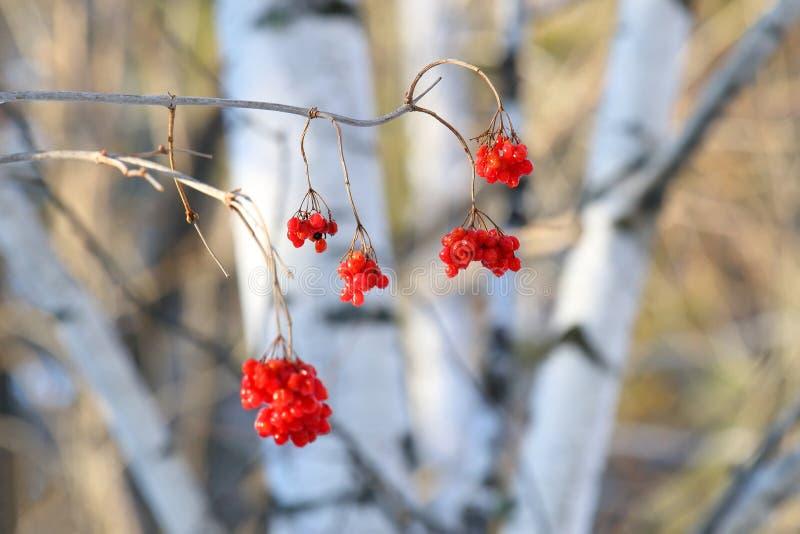 Красные ягоды guelder-Розы стоковые изображения rf
