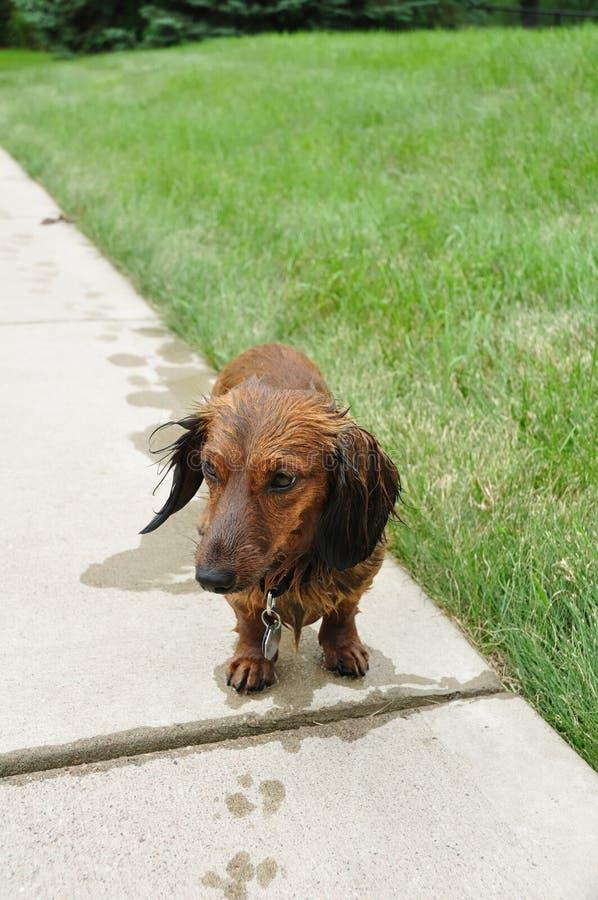красные dachshund с волосами длинние намочили стоковые фотографии rf