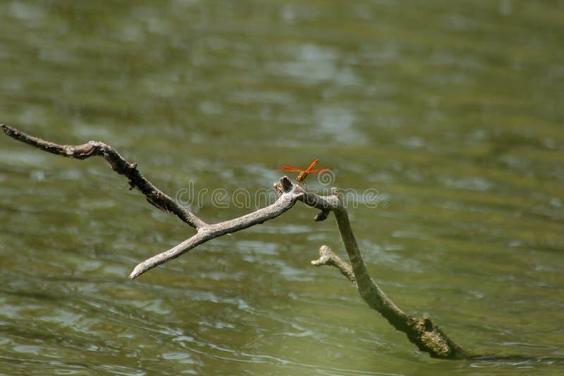 Красные dragonflies на сухих ветвях в воде стоковые изображения