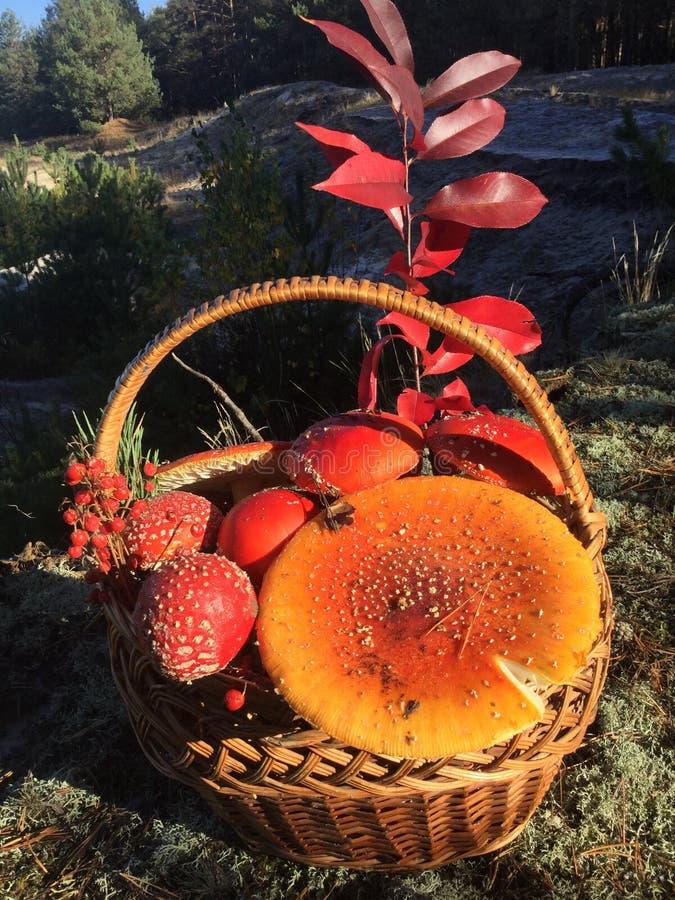 Красные muchrooms стоковые изображения rf